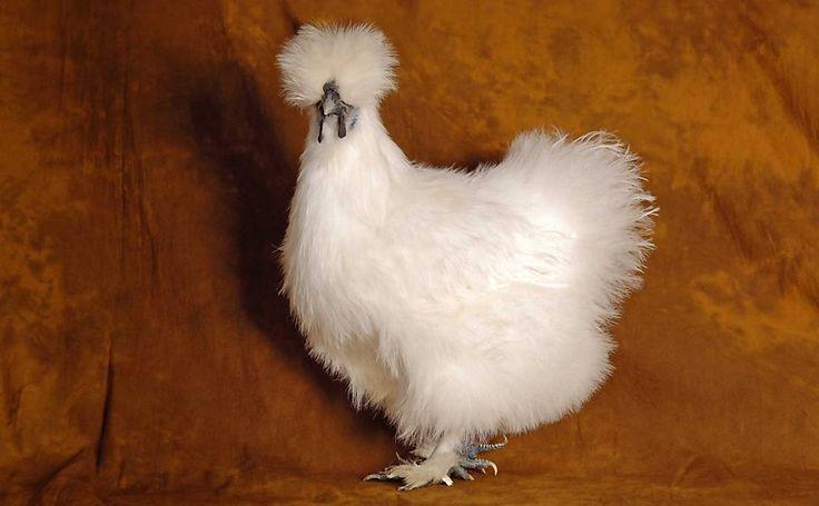 Galinhas de raças raras e premiadas. Essa é uma galinha Silkie Branca.