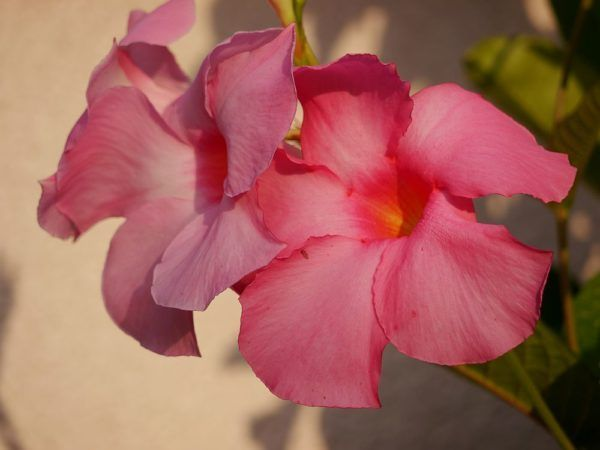 Die Dipladenia ist eine der schönsten Kletterpflanzen. Wie Ihr die Dipladenia überwintern könnt, zeigt Euch dieser Beitrag, der auch Pflegetipps gibt.
