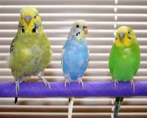 Australian, American, and English Budgies! Whats the Difference?