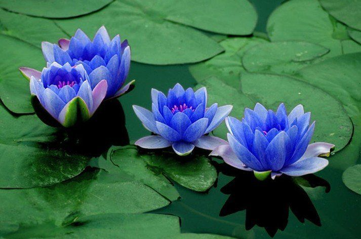 Blue Bowl Lotus Flower Seeds Green Plants For Family Office Table Garden Balcony 30pcs/pack Free shipping-in Bonsai from Home & Garden on Aliexpress.com