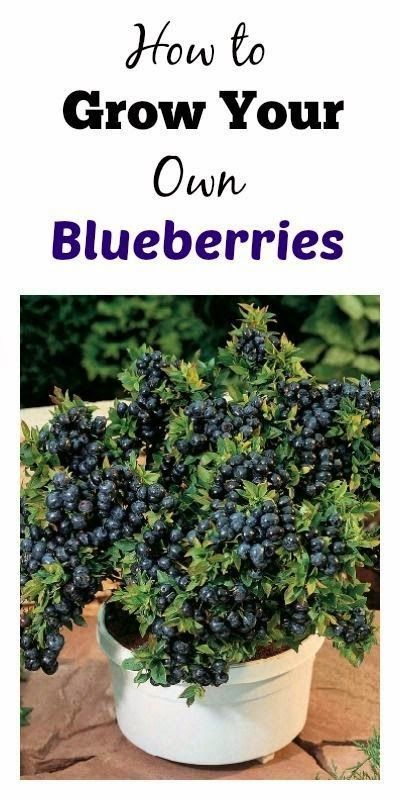 Grow your own Blueberries and Recipes! #blueberries #gardening #dan330 http://livedan330.com/2015/03/29/grow-your-own-blueberries-in-a-container/