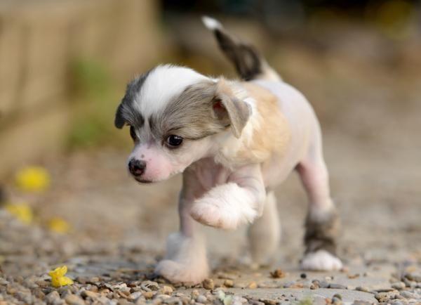 Perro crestado chino: características y fotos #ExpertoAnimal #MundoAnimal #ReinoAnimal #Animales #Naturaleza #Perros #Perritos #Canes #Mascotas #Cachorro #CrestadoChino