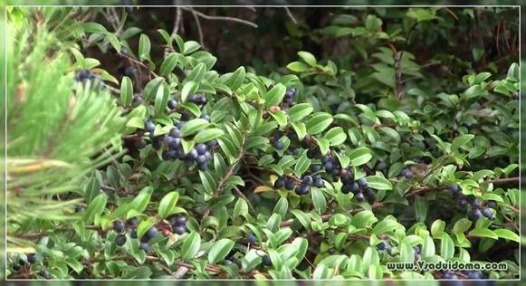 черника выращивание и уход