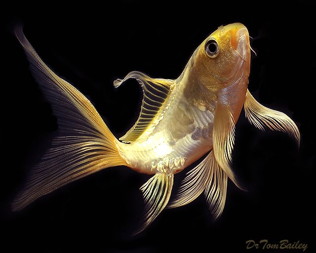 12 best goldfish images on pinterest butterfly koi for Koi fish and goldfish