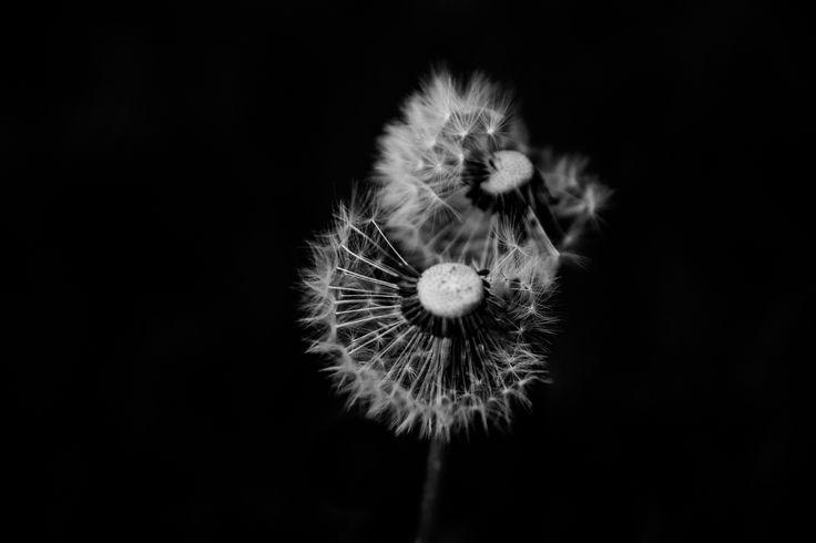 Dandelion - null