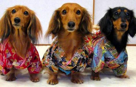 daschunds in kimonos