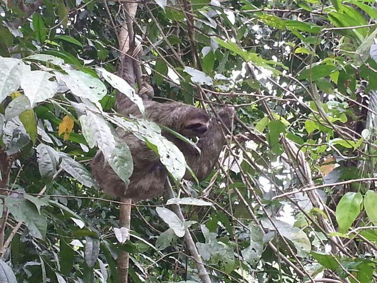 Sloth. Manuel Antonio National Park. COATA RICA. cutie.