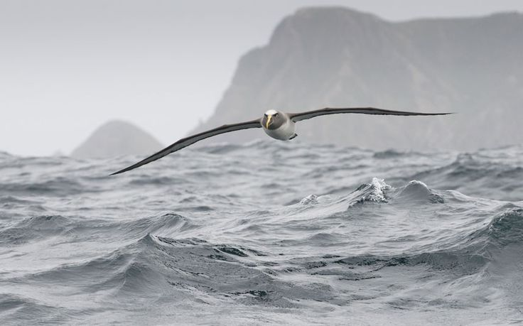 Buller's albatross (Thalassarche bulleri) flying over sea, Chatham Islands, off southern New Zealand