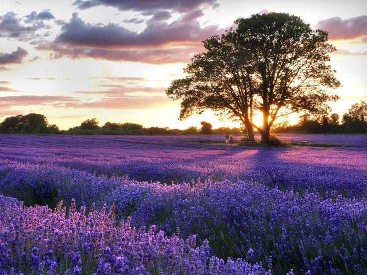 Lavender-Fields-in-UK.jpg (1024×768)