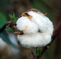 100% Organic cotton fiber