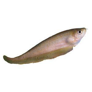 African brown knife petsmart aquarium pinterest for African knife fish