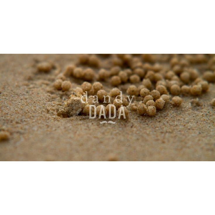 Sand bubbler crab #animal,#crab,#picture,#bubblercrab,#bubble,#beach,#sand,#ballsand,#findit,#discover