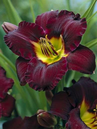 • Darwin Plants - Perennials - Hemerocallis