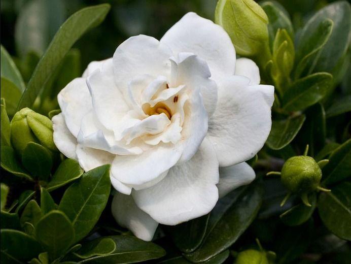 Gardenia Jasminoides Crown Jewel Cape Jasmine Hardy To Us Zone 6 Gardenia Plant Gardenia Essential Oil Flowers