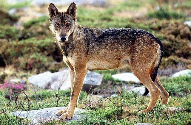 A Ecotura apresenta Na Hora do lobo um programa para o fim-de-semana de Páscoa, na Serra da Peneda | Escapadelas | #Portugal #Lobo #Peneda #Serra #Melgaco #Ecoturismo