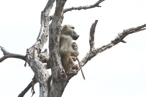 Lions and Baboons in Selinda   African Safaris   Taga Safaris Africa
