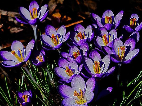 Group photo of purple crocus with texture.