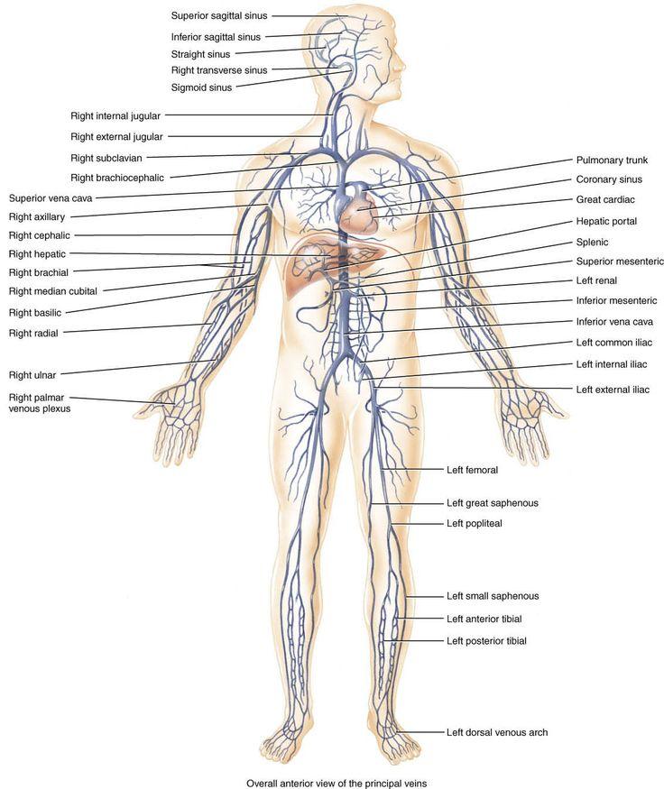 Ziemlich Periphere Venen Anatomie Zeitgenössisch - Anatomie Von ...
