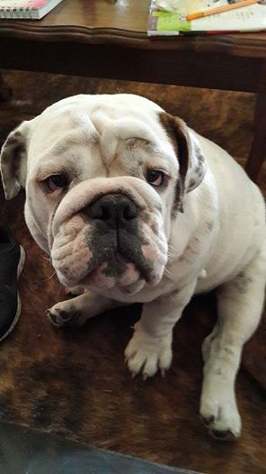 """#Bulldogs. """"Don't go to your work, mom! Let's better play."""""""