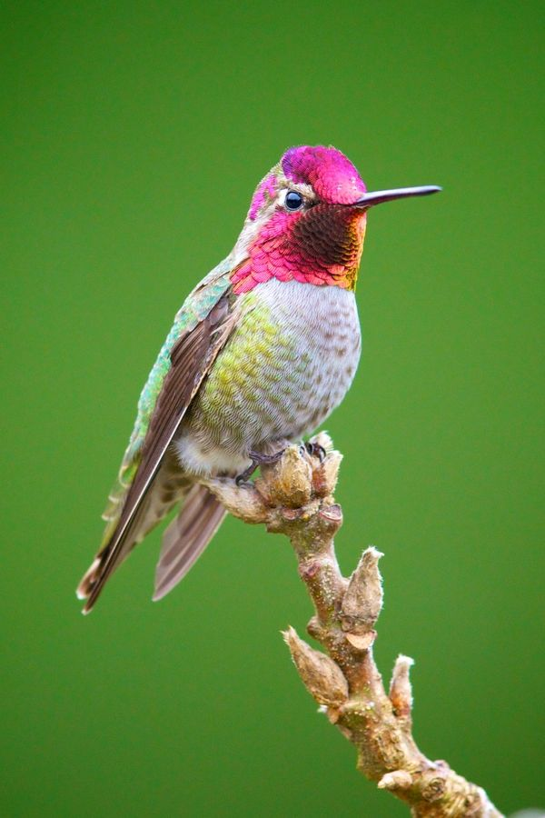 Anna's Hummingbird photographed on a dreary rainy day on Vancouver Island.