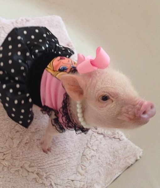 Priscilla the Mini Pig   Paw Stars   PawNation