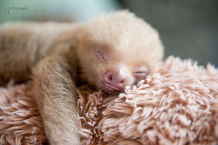 Au Costa Rica, il existe un institut qui s'occupe des bébés paresseux qui ont perdu leur maman. Vous allez fondre...