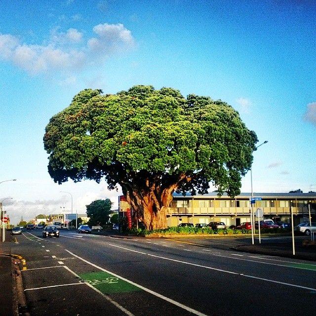 A tree that looks like broccoli #NewPlymouth #Taranaki #NewZealand #Aotearoa #NZ