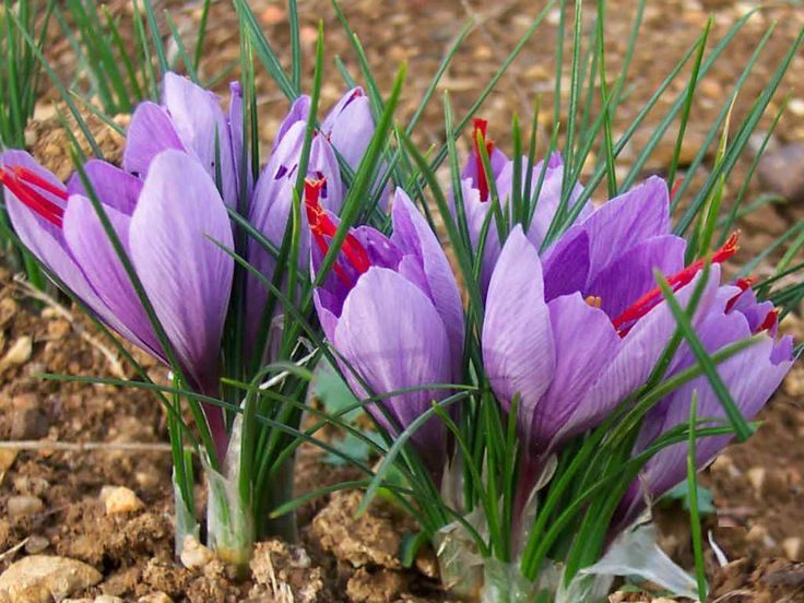 Crocus-sativus-Saffron-Crocus2.jpg (1024×768)