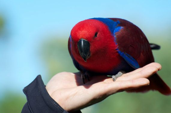 Eclectus Parrot by GPNaturePhotos on Etsy