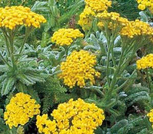 Yarrow - 'Goldie' - ground cover - P. Allen Smith Garden Home -  -  Picture Colors:  Yellow and Green