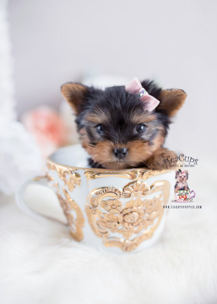 Yorkie Puppy For Sale Teacup Puppies 163 F In 2020 Teacup Puppies Yorkie Puppy For Sale Yorkie Puppy