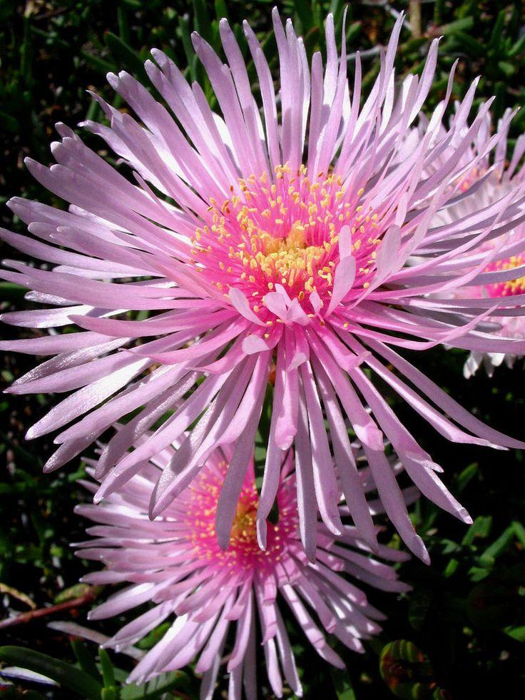 pigface flower (carpobrotus glaucescen), Australia
