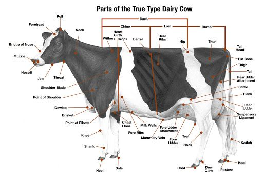 Cow Anatomy Diagram: Parts Of A Dairy Cow
