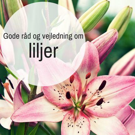 Gode råd og vejledning om liljer