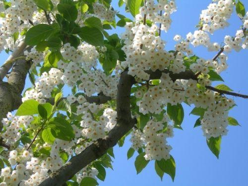 Halesia carolina #flowering #tree #trees www.vdberk.co.uk
