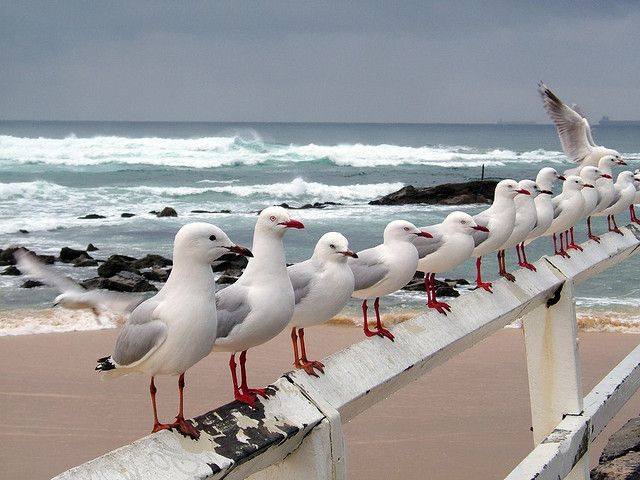 """Most gulls don't bother to learn more than the simplest facts of flight - how to get from shore to food and back again""   ― Richard Bach, Jonathan Livingston Seagull   Seagulls at Nobby's Beach, Newcastle, Australia"