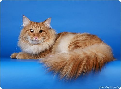 Norwegian Forest Cat, Norwegian Forests photos = Норвежская лесная кошка