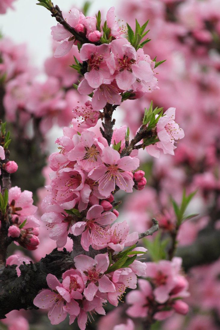 Peach tree blossoms. We have a two year old from a seed my wife planted. Only one peach last year hoping for more.