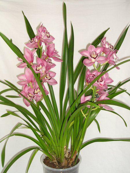 Au royaume des orchidées, choisissez le cymbidium! Plutôt facile à cultiver, cette plante extrêmement populaire sublime terrasses, jardins et intérieurs grâce à sa floraison hivernale qui dure près de trois mois. De magnifiques hampes de fleurs apparaissent alors et illuminent votre décoration d'une petite touche d'exotisme et de charme!