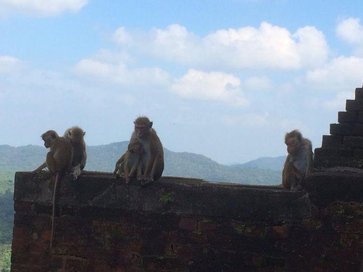 Monkeys in Sigiriya Sri Lanka