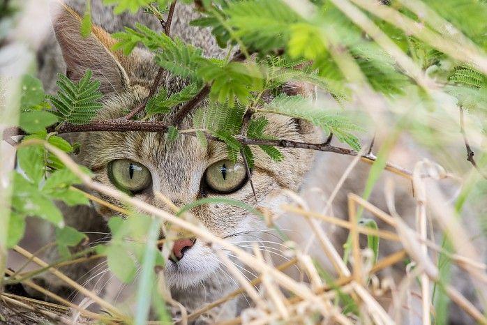 African wildcat in the Kalahari Desert #greenseason