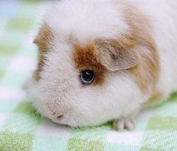 Understand guinea pig sounds...and this guinea pigs eyes are so cute :)