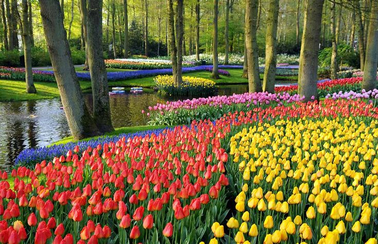 The patchwork quilt of colours in the Keukenhof park, just outside Lisse in South Holland, is a veritable feast for the eyes