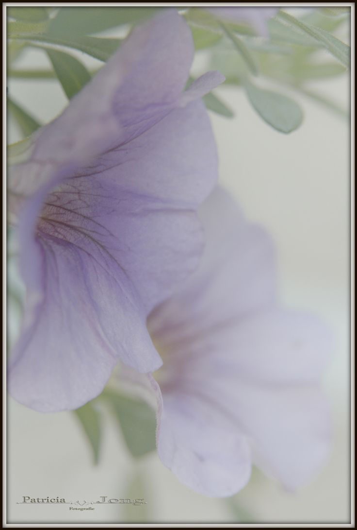Photograph Petunia's by patricia jong on 500px