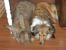 Flemish Giant Rabbits  #