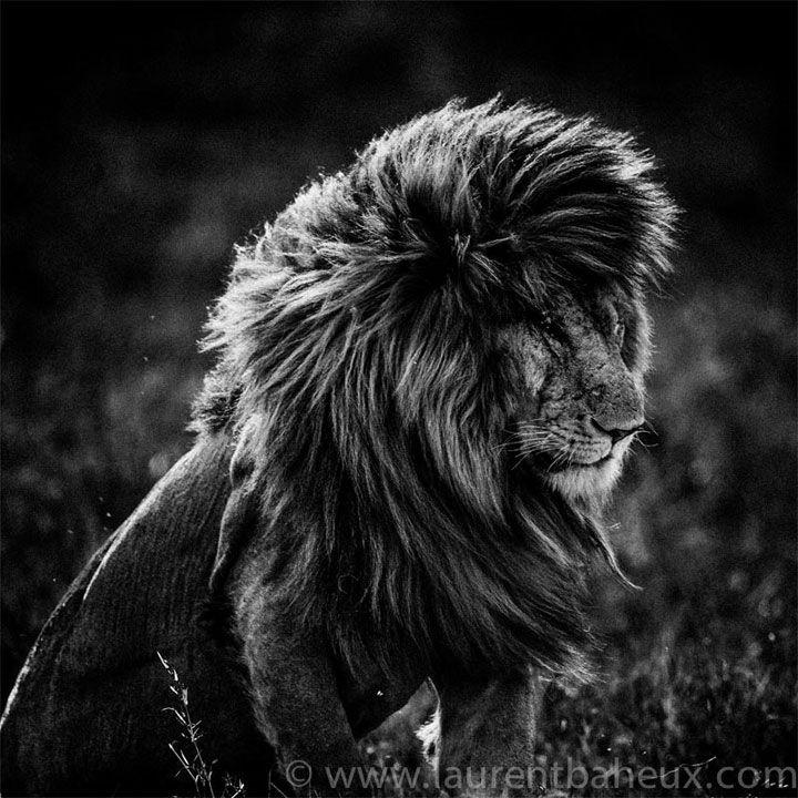 Découvrez les animaux sauvages d'Afrique comme vous ne les avez jamais vus avec les clichés exceptionnels de Laurent