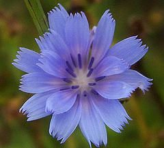 """Chicory / Chicorium intybus:    """"Those who are very mindful of the needs of others they tend to be over-full of care for children, relatives, friends, always finding something that should be put right. They are continually correcting what they consider wrong, and enjoy doing so. They desire that those for whom they care should be near them"""" - Dr. Edward Bach"""