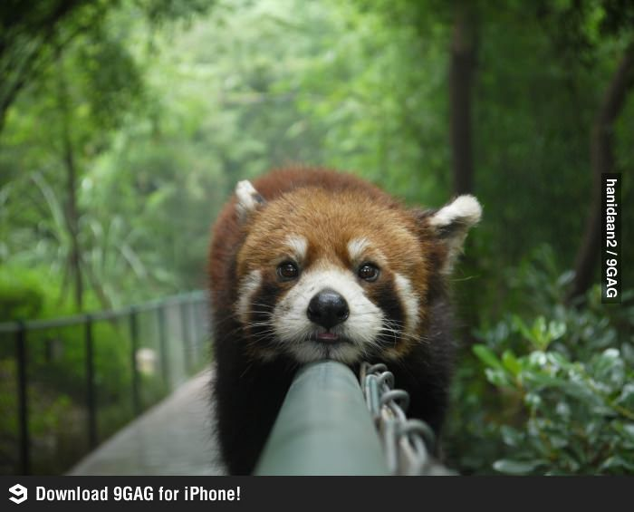 Look, a red panda!