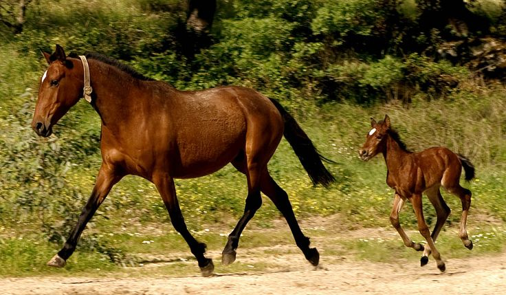 Alter Real mare and foal