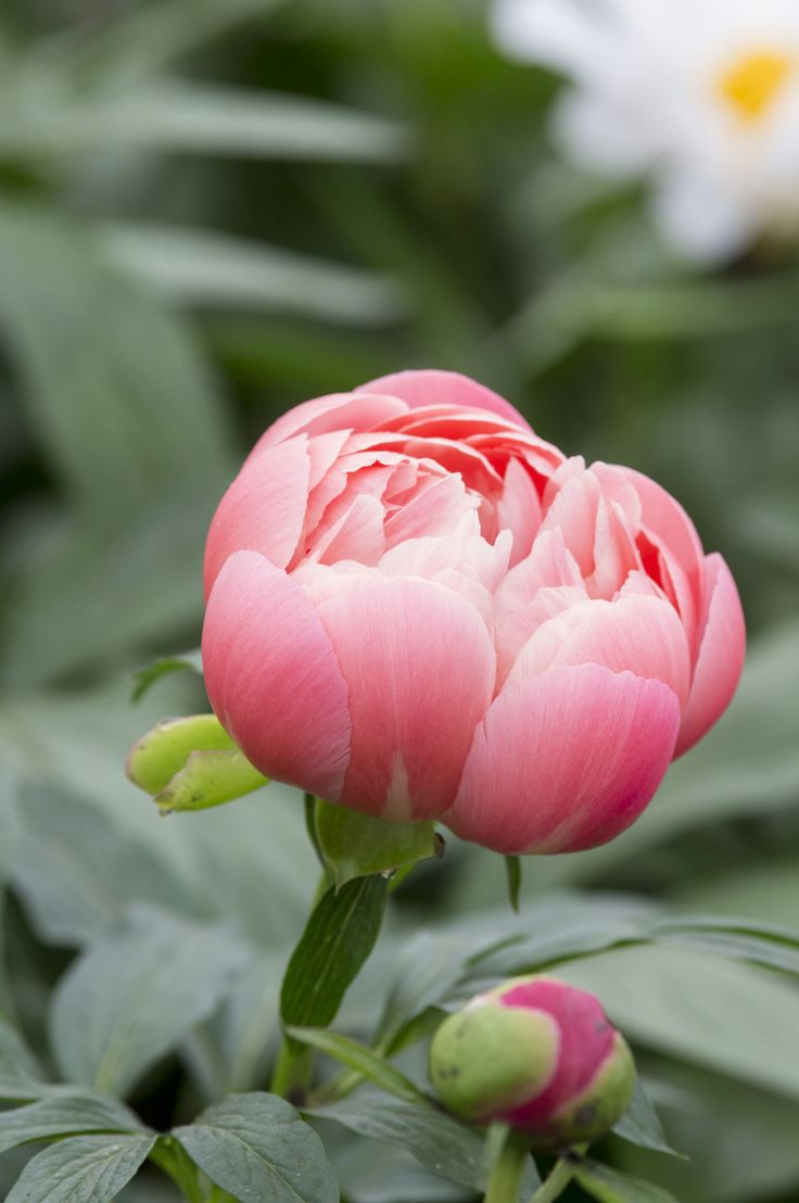 Paeonia 'Coral Charm': this herbaceous peony flowers in June, changing colour as…